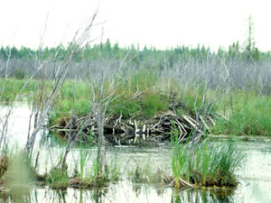 Wood Buffalo National Park - beaver lodge
