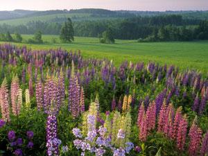 Prince Edward Island - lupins in bloom