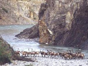 Ivvavik National Park - porcupine caribou