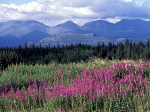 Kluane National Park - fireweed in bloom